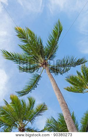 Coconut Palm Trees, Sky As Background