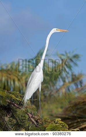 White Egret, Dominican Republic