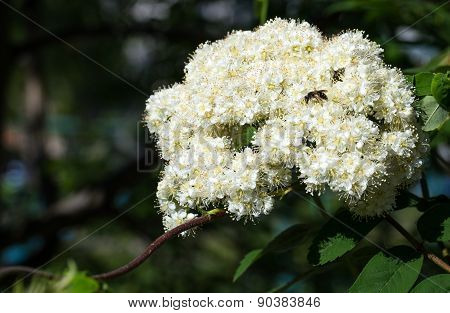 Flowering rowan in spring time.