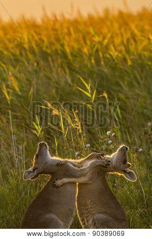 Playing kangaroo