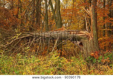 Cracked Pine