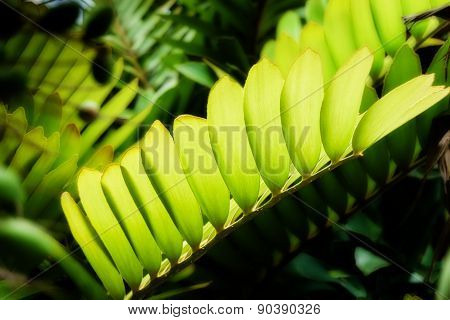 Translucent Leaves And Fresh Green Leaf