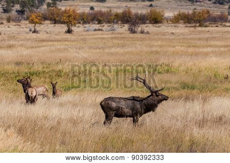 Elk Herd in Rut