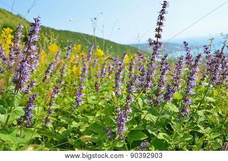 Salvia Flowers On Mountain Meadow