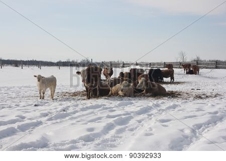 Cows, Winter Day in Pen
