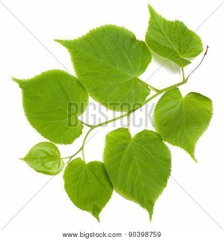 Green Tilia Leafs On White Background