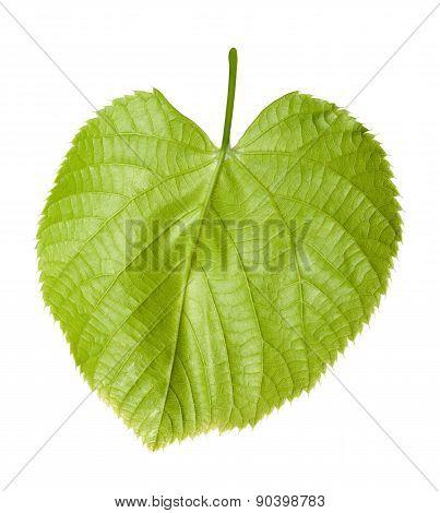 Green Linden-tree Leaf