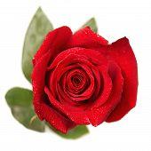 foto of rose bud  - Red rose bud macro isolated on white background - JPG