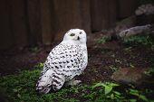 foto of snowy owl  - white snowy owl sitting on the ground - JPG