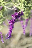pic of purple sage  - Bumblebee flies over amethyst sage in the garden - JPG