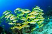 stock photo of school fish  - School yellow fish - JPG