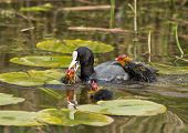 picture of common  - Common Coot  - JPG