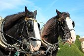 stock photo of shire horse  - Two thoroughbred Shire horses wearing tackle and blinkers - JPG