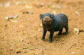 picture of piglet  - A piglet is sticking his nose up and watches curiously - JPG