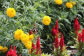 stock photo of celosia  - Pretty red celosia flower in a garden with marigolds makes a very colorful display in any garden - JPG