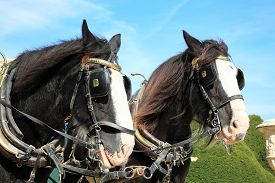 foto of workhorses  - Two thoroughbred Shire horses wearing tackle and blinkers - JPG