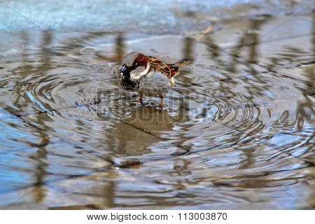 The Wet Sparrow Splashes In A Pool.