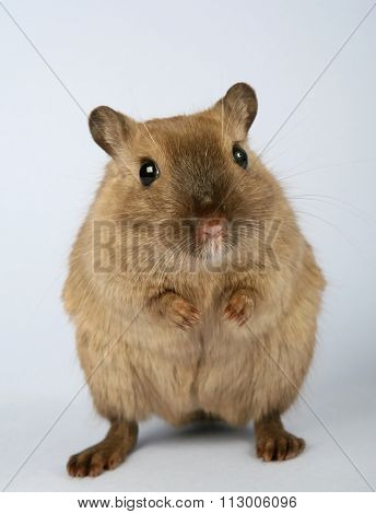 Young Brown Female Rodent On Dark Grey Background