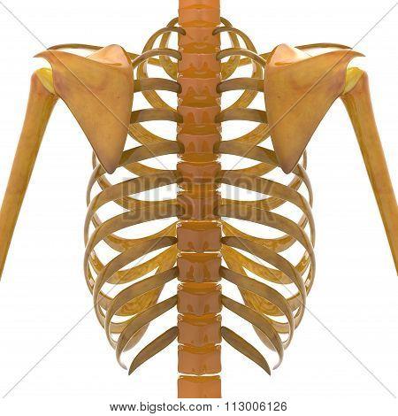 Human Skeleton Scapula with Ribs