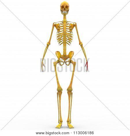 Human Skeleton Finger Joints