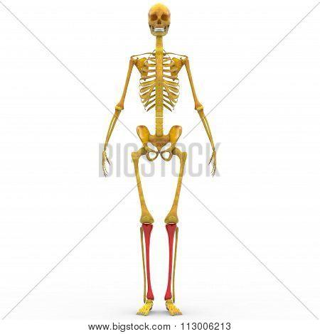 Human Skeleton Tibia Joints