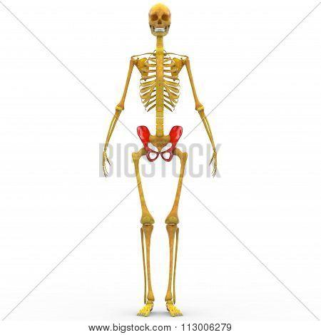 Human Skeleton Ilium