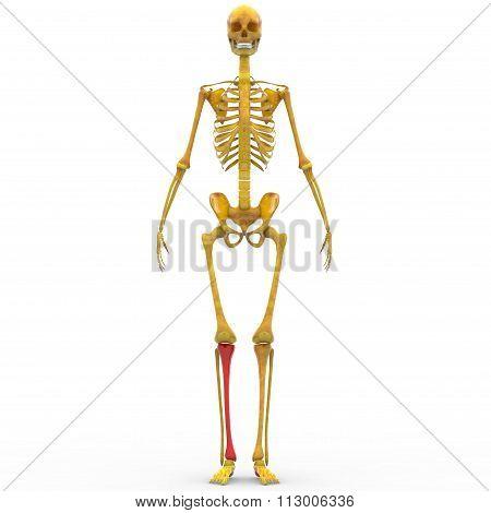 Human Skeleton Tibia Bone