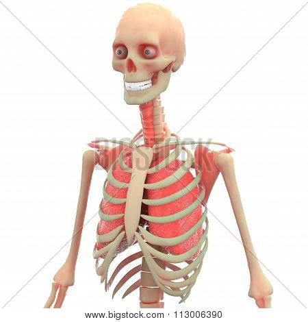 Human Skeleton with Lungs