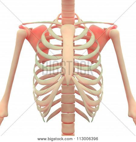 Human Skeleton Ribs with Scapula