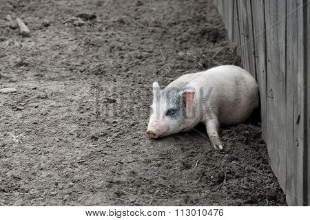 Little piglet on a farm
