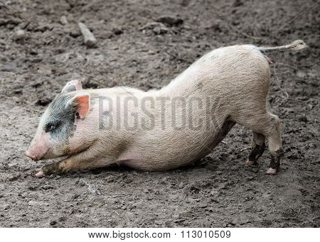 Funny stretching piglet