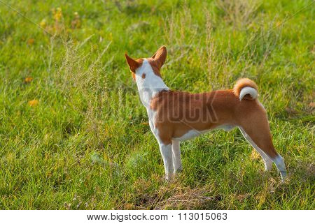 Cute Basenji dog - troop leader
