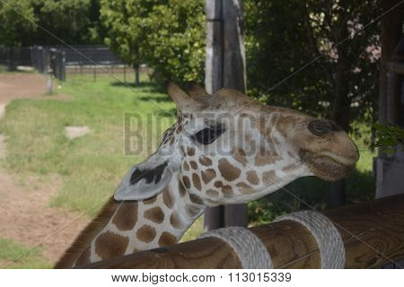 Girafe face Portrait - Closeup