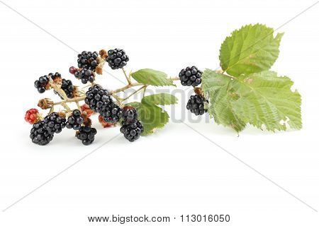 Beautiful Ripe Blackberry On Branch Isolated On White