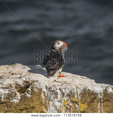 Icelandic Puffins With Fish At Remote Islands In Iceland, Summer, 2015
