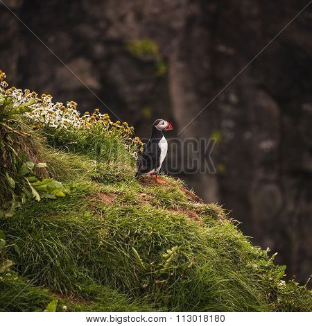Icelandic Puffins At Remote Islands In Iceland, Summer, 2015