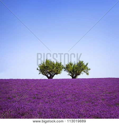Lavender And Two Trees Uphill. Provence, France