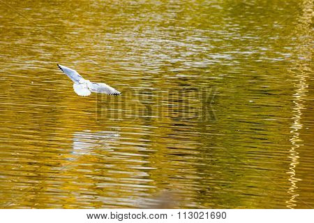 White bird flying over autumn colored lake