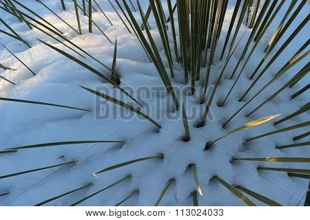 Yucca in snow