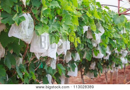 Grapes With Green Leaves On The Vine In  White Bags