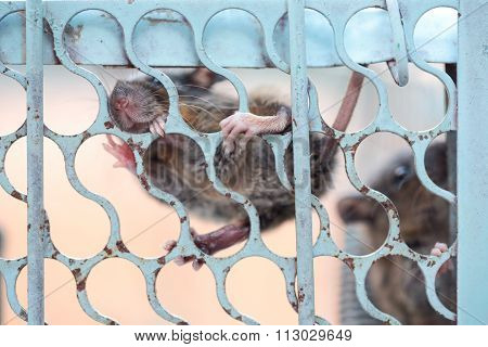 Rat Scared Trap In Cage.