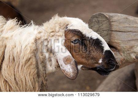 Dirty Sheep Portrait