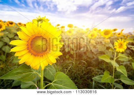 Field Sunflowers With Flare Light Daytime Morning.