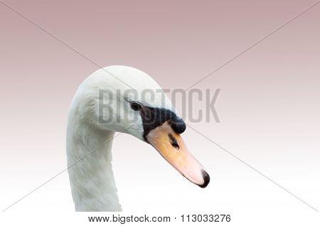 Swan Portrait Isolated