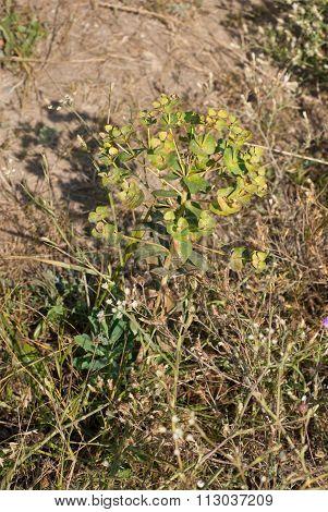 Euphorbia (.euphorbia Helioscopia L.) In A Meadow