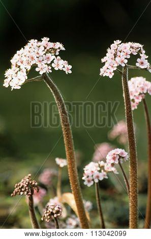 Indian Rhubarb
