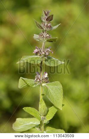 Limestone Or Alpine Woundwort