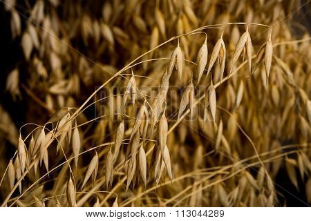 Macro Of Oat Crop