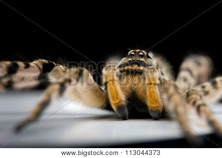 Stare And Glare Danger Spider