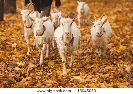 herd of goats walking on autumn leaves